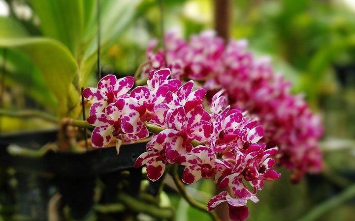 Cách trồng lan ngọc điểm rừng. Chăm sóc lan ngọc điểm ra hoa đúng tết