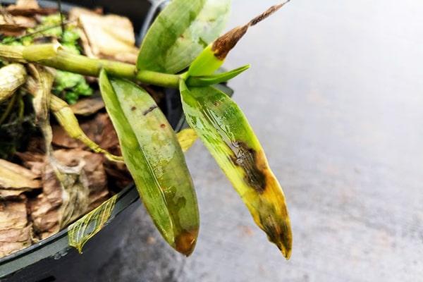 Hướng dẫn 13+ cách phòng và trị Bệnh Thối Nhũn trên phong lan