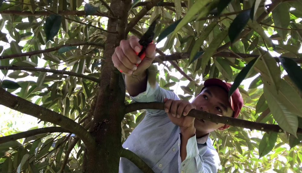 Durian Pruning | Kỹ Thuật Tỉa Cành Tạo Tán Sầu Riêng Giao Đoạn Cây 2 Năm Tuổi | Thịnh Sầu Riêng - YouTube